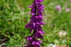 Orchidee auf dem Monte Cervati