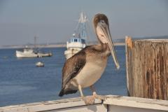 Braune Pelicane
